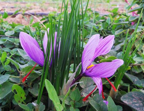 primera-flor-2013